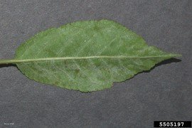 Powdery Mildew of Cherry and Plum in Home Fruit Plantings