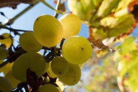 Insect and Nematode Pests in Grapes in the Home Fruit Planting