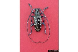 Photo: Michael Bohne, Bugwood.org, University of Georgia; Male Asian longhorned beetle