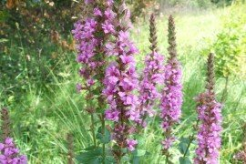 Natural Areas and Purple Loosestrife
