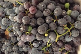 Grapes in the Home Fruit Planting