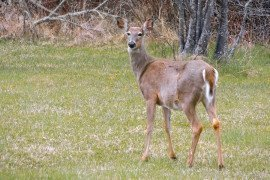 White-tailed Deer in Home Fruit Plantings