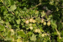 Home Fruit Plantings: Gooseberry and Currant Variety Selection