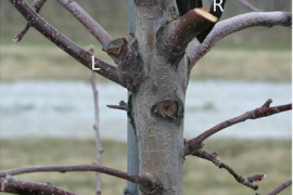 Fruit Tree Pruning - A Rules-Based Approach
