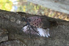 How To Remove Spotted Lanternfly Eggs