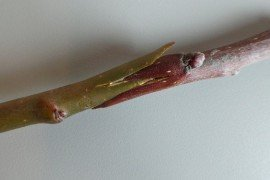 Fruit Tree Propagation - Bench Grafting