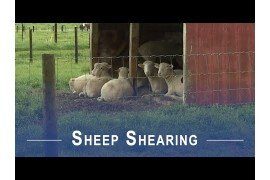 Sheep Shearing