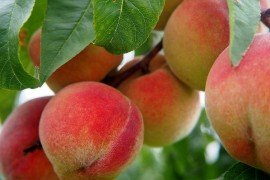 The Peach Pruning Blueprint