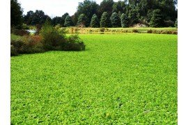 Water chestnut investation choking a pond. Photo: Pat Rector, Rutgers University Cooperative Extension