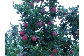 Pruning and Training Apple Trees