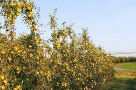 Apple Trellis Construction for High Density Orchard Systems