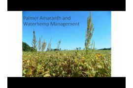 Herbicide Resistant Pigweed 2: Management in Conventional Row Crops