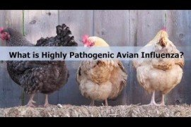 What is Highly Pathogenic Avian Influenza?