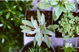 Herbs for the Home Gardener