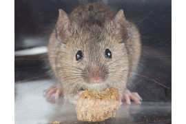 Common house mouse, 130617 by David Illig, [CC BY-NC-SA 2.0] on Flickr