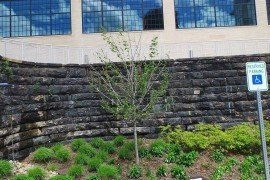 Acer rubrum Red Sunset® on a commercial site with suspected glyphosate damage. Photo: S. Feather, Penn State