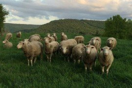 During early spring, sheep often meet their water requirements through consuming lush pasture.