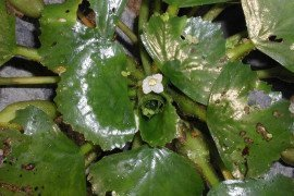 Water Chestnut Rosette Photo: Leslie J. Mehrhoff, University of Connecticut, Bugwood.org