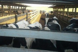 Holsteins being raised for beef. Photo credit: Courtesy of the PA Beef Producers Working Group.