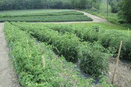 2015 Tomato Crop at Scholl Orchards, Kempton PA