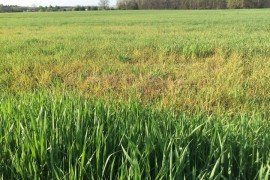 Timothy field near Gettysburg browning because of aphid infestation. (Photo by Dean Collamer, Growmark FS