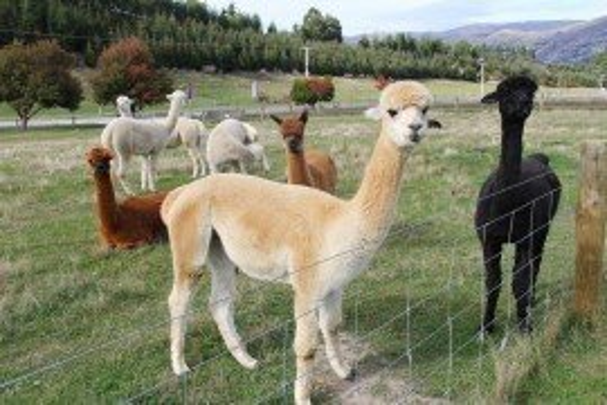 Recognizing Hepatic Lipidosis in Llamas and Alpacas