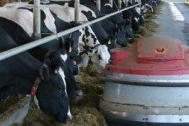 Feed Management in Robotic Milking Herds