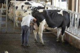 Restraint and Handling of Dairy Cattle