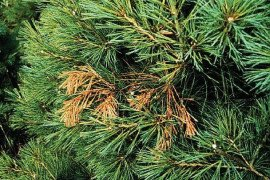 Flagging damage from pine shoot beetle. Courtesy of Rayanne D. Lehman, PDA