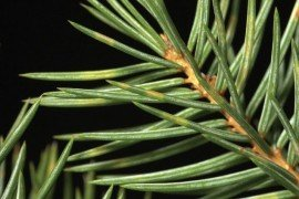 Yellow bands containing faint orange fruiting bodies distinctive of spruce needle rust. Courtesy of Tracey Olson, PDA