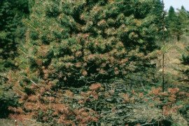 Rhizosphaera-infected foliage on inner branches and lower parts of the tree. Courtesy of USDA Forest Service North Central Research Station Archive, Bugwood.org (#1406191)
