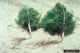 J-root planting damage on Virginia Pine. Courtesy of Bill Murray, University of Georgia, Bugwood.org (#0485015)