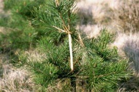 Damage from deer to a Scots pine. Courtesy of Jan Liska, Forestry and Game Management Research Institute, Bugwood.org (#2113036)