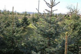 Christmas tree plantation. Courtesy Lynn Kime.