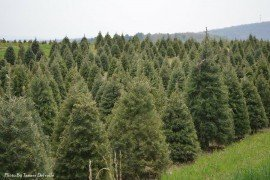 IPM for Christmas Trees: Pesticide Information