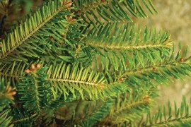 Spruce spider mite feeding damage. Courtesy of Eric R. Day, Virginia Tech, Bugwood.org (#0717020)