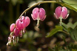 Bleeding heart by Liz West / Muffet, Flickr.com License 2.0 Generic (CC BY 2.0)