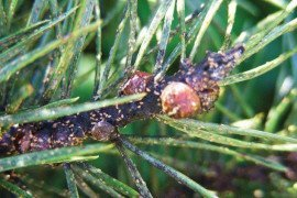 Severe scale crawler infestation on Scotch pine, along with a heavy amount of sooty mold (black coating on stem and needles). Courtesy of Brian Schildt, PDA