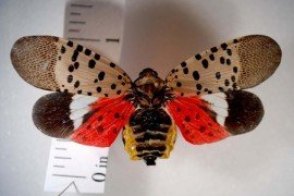 How You Can Comply with the Spotted Lanternfly Quarantine Regulations