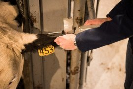Implants used in cattle increase feed efficiency. (Photo Credit: PA Beef Producers Working Group)