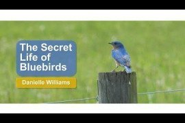 The Secret Life of Bluebirds