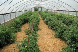 High tunnel tomatoes. Photo: Tom Ford, Penn State
