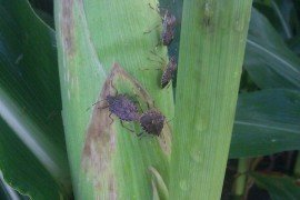 Brown Marmorated Stink Bug (BMSB) on field corn. Photo credit: Jeff Graybill