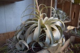 Tillandsia are tucked into this winter arrangement. Photo credit: Carol Papas
