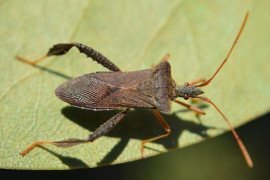 Magnolia Leaf-Footed Bug