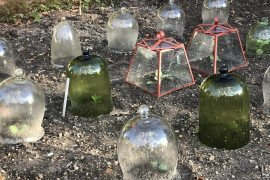 Cloches protect vegetables planted in early spring. Photo credit: Nancy Knauss