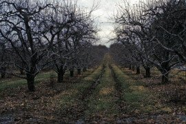 Top dominant trees in an older orchard. Photo: Rob Crasswellar, Penn State