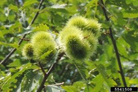 American chestnut. Photo credit: Ricahrd Gardner, Bugwood.org, Creative Commons Attribution-Noncommercial 3.0 License