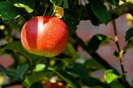 Home Orchards: Table 4.9. Pesticide Recommendations for Scab-resistant Apples