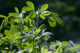 Assessing Your Alfalfa Stand this Spring